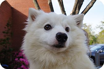 Spitz (Unknown Type, Medium) Dog for adoption in Charlemont, Massachusetts - Brady