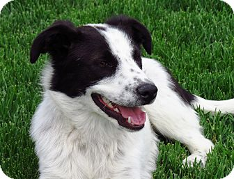 Border Collie/Cattle Dog Mix Puppy for adoption in Meridian, Idaho - Taylor