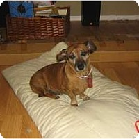Adopt A Pet :: Saucie - Scottsdale, AZ
