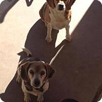 Adopt A Pet :: Bagel Boo - Phoenix, AZ