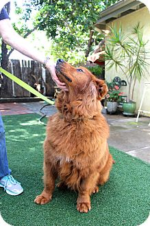 Golden Retriever/Chow Chow Mix Dog for adoption in San Diego, California - Copper
