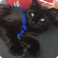 Adopt A Pet :: Gypsy - Rochester Hills, MI