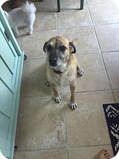 Labrador Retriever/Shepherd (Unknown Type) Mix Dog for adoption in Manhattan, Kansas - Jelly Bean