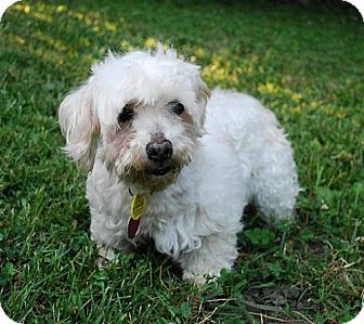 Maltese/Poodle (Miniature) Mix Dog for adoption in Lee's Summit, Missouri - Delia