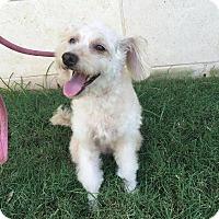 Adopt A Pet :: Abigail - Nanuet, NY