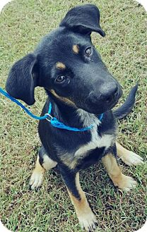 Shepherd (Unknown Type) Mix Puppy for adoption in Hope Mills, North Carolina - Riley Adoption Pending Congrats Courtney!