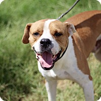 Adopt A Pet :: Chance - McAllen, TX