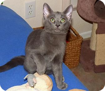 Russian Blue Kitten for adoption in Land O Lakes, Florida - Rasha