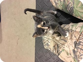 Domestic Shorthair Kitten for adoption in Remus, Michigan - Thing One F