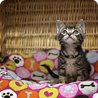 Domestic Shorthair Kitten for adoption in Sterling, Kansas - Smith