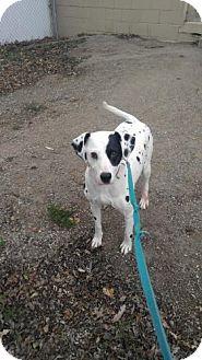 Dalmatian Dog for adoption in South Amana, Iowa - Heidi Sue