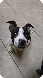 Pit Bull Terrier/Pointer Mix Puppy for adoption in Livonia, Michigan - Sq litter - Monte - ADOPTED