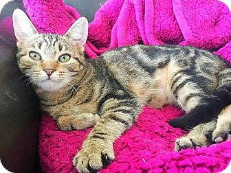 Domestic Shorthair Kitten for adoption in Williamston, Michigan - Ag Litter - Kendall
