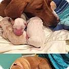 Adopt A Pet :: Buttercup's Beau