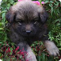 Adopt A Pet :: Ariel - La Habra Heights, CA