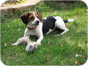Beagle Puppy for adoption in Waukesha, Wisconsin - Manson