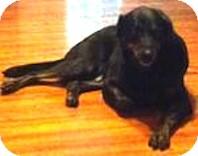 Kia | Adopted Dog | Tahlequah, OK | Great Dane/Rottweiler Mix