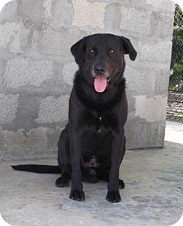 Labrador Retriever Mix Dog for adoption in Key Biscayne, Florida - Dexter