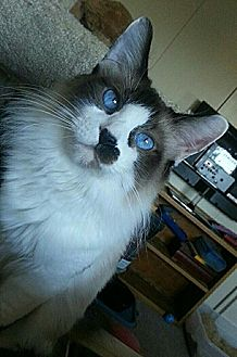 Snowshoe Cat for adoption in Surprise, Arizona - Mittens