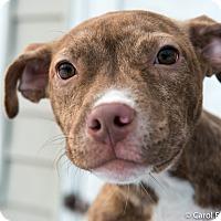 Adopt A Pet :: Maddie - Bristol, CT