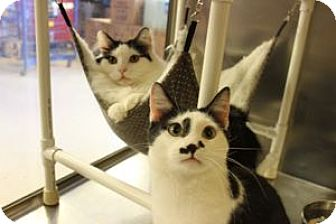 Domestic Shorthair Cat for adoption in Louisville, Kentucky - Austin and Danny
