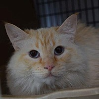 Adopt A Pet :: Ginger - Denver, CO