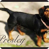 Adopt A Pet :: Presley - Mount Ayr, IA