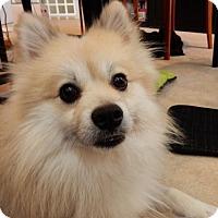 Adopt A Pet :: Vinny of VA - Randallstown, MD