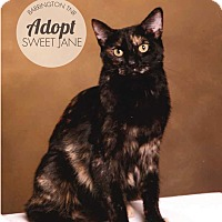 Domestic Shorthair Cat for adoption in Barrington, New Jersey - Sweet Jane - Sponsored
