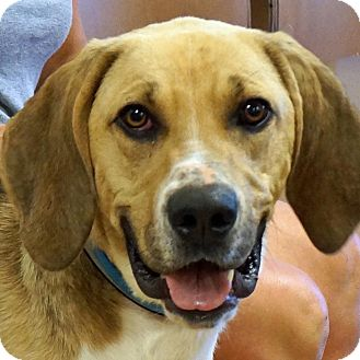 Foxhound Mix Dog for adoption in Sprakers, New York - Luke