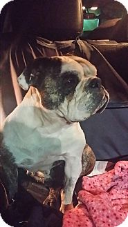 English Bulldog Dog for adoption in Santa Ana, California - Pixie