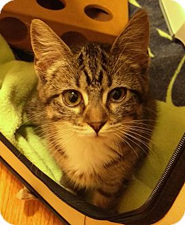Domestic Shorthair Kitten for adoption in St. Louis, Missouri - Selkie