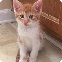 Domestic Shorthair Kitten for adoption in Smyrna, Georgia - Duckie