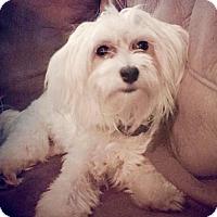 Adopt A Pet :: Ziggy-ADOPTION PENDING!!! - Rockville, MD