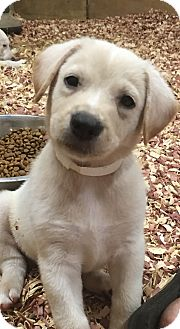 Labrador Retriever Mix Puppy for adoption in Burlington, Vermont - Gage (adopted)