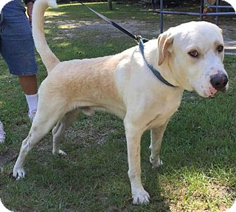 Labrador Retriever Mix Dog for adoption in Savannah, Georgia - Talbert