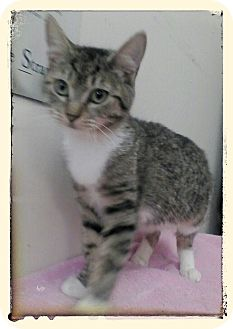Domestic Shorthair Kitten for adoption in Trevose, Pennsylvania - Montana