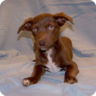 Chihuahua Mix Puppy for adoption in Fayetteville, Tennessee - 16-d10-029 Maximus