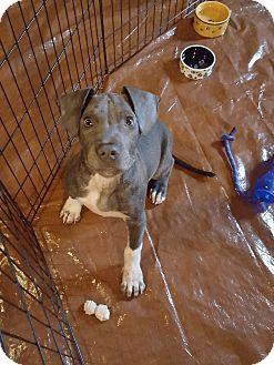 Weimaraner/Terrier (Unknown Type, Medium) Mix Puppy for adoption in Sterling, Massachusetts - CHAD*adoption pending