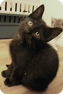Domestic Shorthair Kitten for adoption in Cleveland, Ohio - Renoir