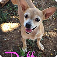 Adopt A Pet :: DAFFY - Phoenix, AZ