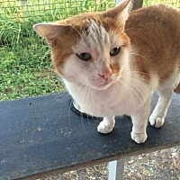 Domestic Shorthair Cat for adoption in Thibodaux, Louisiana - Frisky FE2-9569