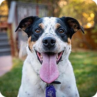 Cattle Dog Mix Dog for adoption in Boulder, Colorado - Mesa - Courtesy Post