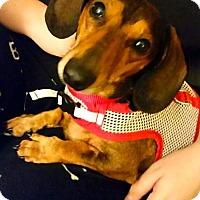 Dachshund Dog for adoption in Orangeburg, South Carolina - Buddy3