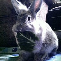 Lionhead Mix for adoption in Los Angeles, California - Heather