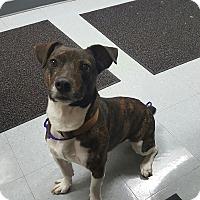 Adopt A Pet :: BOSTON - Sandusky, OH