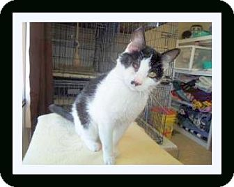 Domestic Shorthair Cat for adoption in Medford, Wisconsin - ONE EYED JACK