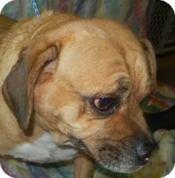 Pug/Beagle Mix Dog for adoption in Antioch, Illinois - Will Sniff ADOPTED!!