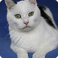 Domestic Shorthair Cat for adoption in Eldora, Iowa - Deuce