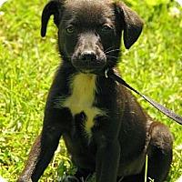 Adopt A Pet :: Carina - Staunton, VA
